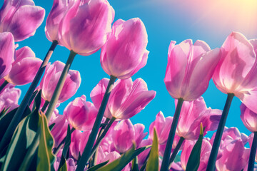 Tulips field in the spring. Pink tulips blooming against blue sky. Floral nature background