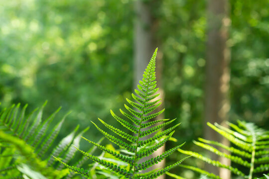 Male fern with sori on leaflets underside