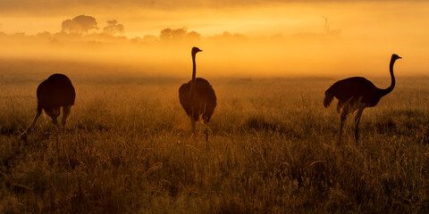 Ostrich (Struthio camelus) silhouetted at sunrise with mist over the plains, Masai Mara National Reserve, Kenya