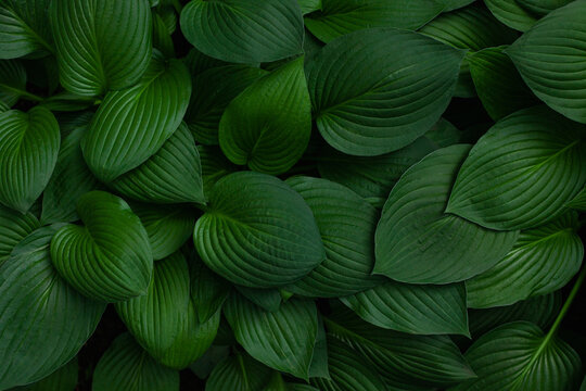 Fresh green hosta plant leaves background. Botanical nature surface. Wallpaper or poster with green leaf.