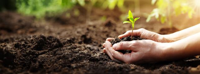 Fototapeta Woman hands taking care of a seedling in the soil. obraz