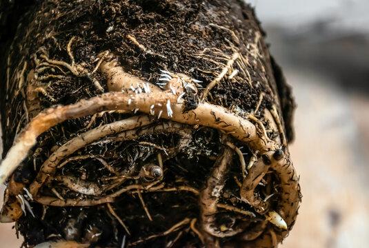 Root system of strelitzia indoor plant. Closeup image.