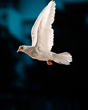 White pigeon flying in dark sky