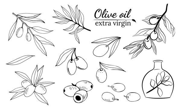 Olive fruit, branches tree and olive oil bottle sketches set. Set of illustrations of olive branch.Olive tree branch hand drawn illustration in sketch style. Design elements for label, emblem, banner.