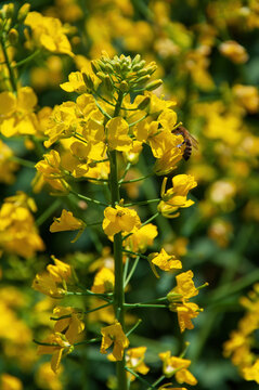 Bee collecting the nectar from rapeseed flowers