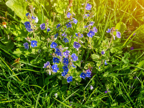 Green field grass with flowers Veronica forget-me-not in field