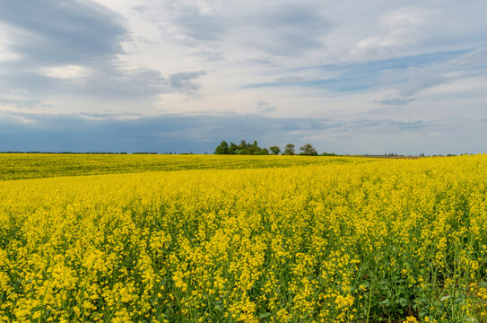 Field of yellow flowering rapeseed on a background of storm clouds