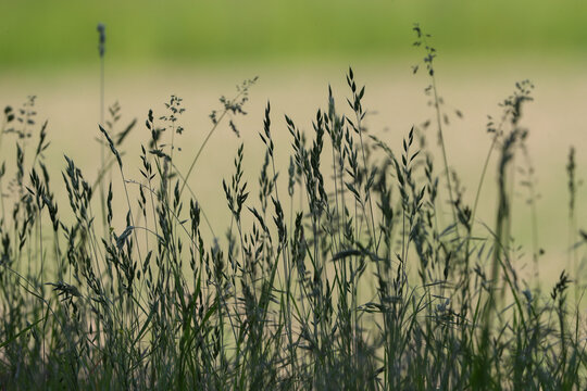 Wiese mit Gräsern Heuschnupfen Allergie