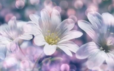 piękny biały kwiat łąkowy z bliska z efektem bokeh