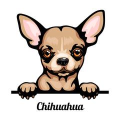 Obraz Chihuahua - Color Peeking Dogs - breed face head isolated on white - fototapety do salonu