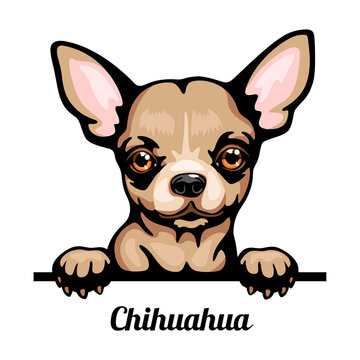 Chihuahua - Color Peeking Dogs - breed face head isolated on white