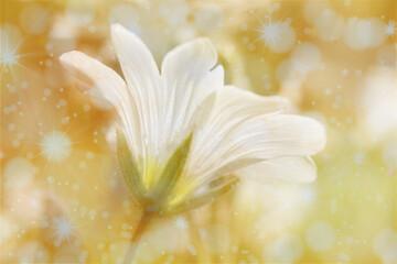 biały, polny kwiat z efektem bokeh