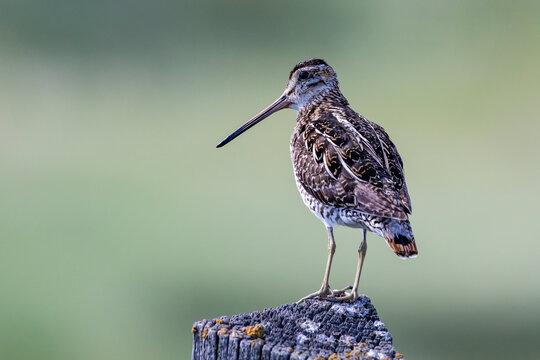 Wilson's Snipe Shorebird Sitting on a Wooden Post