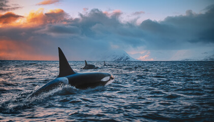 Fototapeta Orca Killerwhale traveling on ocean water with sunset Norway Fiords on winter background obraz