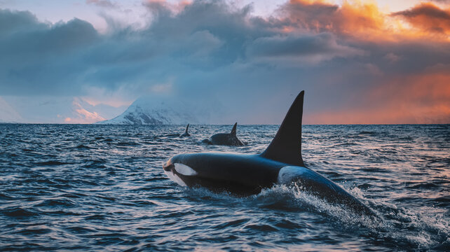 Orca Killerwhale traveling on ocean water with sunset Norway Fiords on winter background
