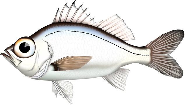 魚 オオメハタ イラスト ベクター