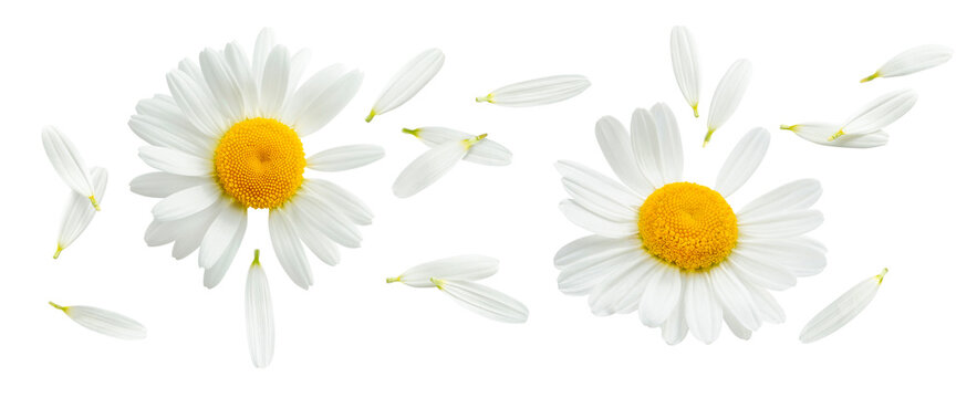 Chamomile or camomile with flying petals set isolated on white background. Daisy flower