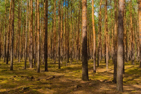 Pine forest in spring on a sunny day with light and shade