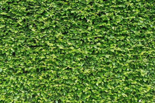 Green hornbeam hedge in summer (Carpinus betulus)