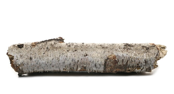 Dry, rotten birch tree log isolated on white background
