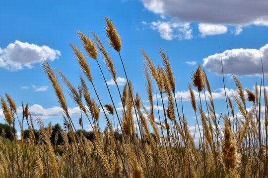 Wheat and sky. Wheat fields rising to the sky, in the fields of Castilla la Mancha, Spain