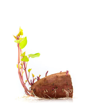 Sweet potato the best vegetarian organic food grow up with roots and green leave