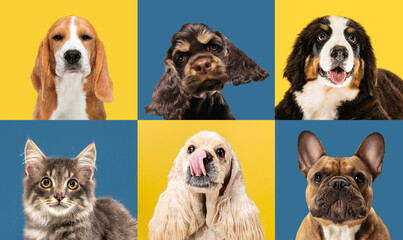 Obraz Art collage made of funny dogs different breeds on multicolored studio background. - fototapety do salonu
