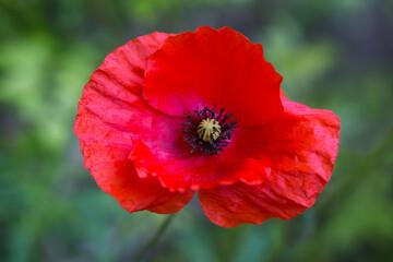 Obraz Kwitnący, czerwony mak, kwiat w rozkwicie - fototapety do salonu