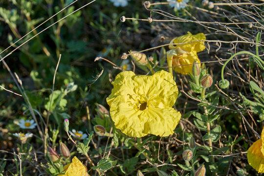 Yellow evening primrose ( Calylophus serrulatus )