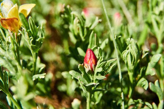 Low menodora ( Menodora heterophylla ) Wildflower