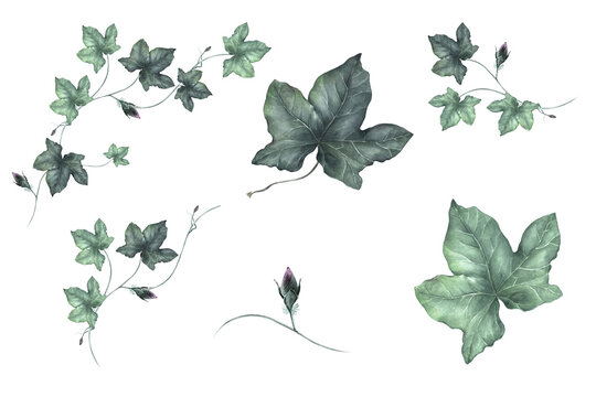 Watercolor Ivy leaves clipart, Isolated Greenery clipart for wedding invitation, baby shower, birthday cards diy,  Nature clip art with dusty trailing greenery.