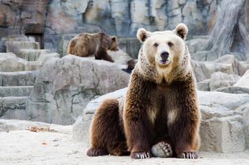 osos grizleis en cautividad enormes - fototapety na wymiar