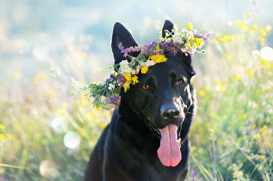 Headshot of a black dog wearing wreath of wild flowers