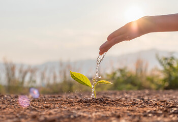 Fototapeta Hand nurturing and watering young baby plants growing in germination sequence on fertile soil at sunset background obraz