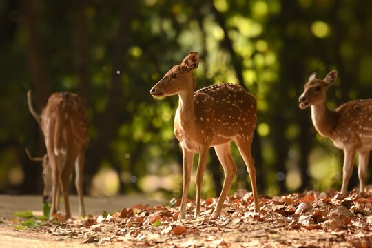 Wild female Spotted deers standing in forest of Bandhavgarh national park during golden hours, photographed with beautiful bokeh