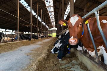 Krowa mleczna na fermie