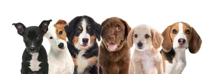 Group of adorable puppies on white background. Banner design - fototapety na wymiar