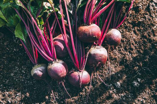 Fresh beets. Harvest fresh organic beet on the ground.