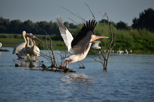white pelican in delta danube