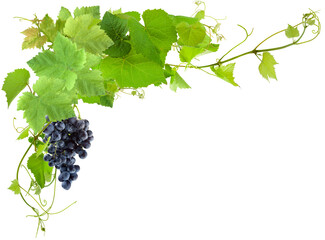 Vigne et grappe de raisin, fond blanc