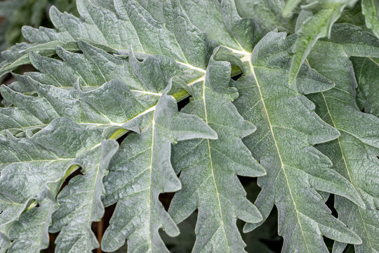 Close-up of big green leaf in the spring garden