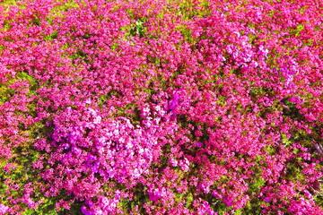 花壇いっぱいに咲くピンク色のシバサクラの風景4
