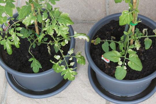 Blätter an Tomaten sind verwelkt
