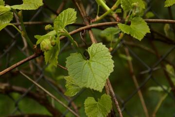 Obraz liść winorośli - fototapety do salonu