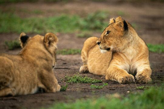 Lion cub lies beside another on dirt