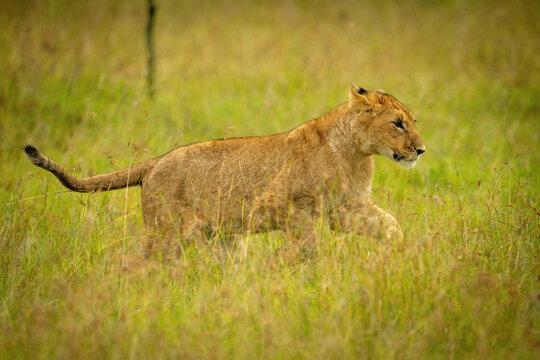 Lion cub jumps through grass lifting paws