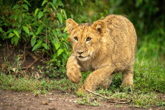 Lion cub jumps past bush lifting paw
