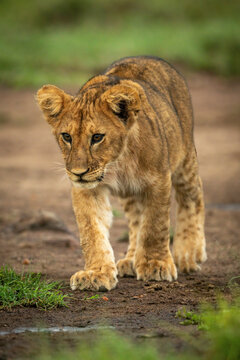 Lion cub crosses dirt with lowered head