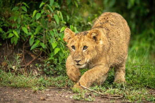 Lion cub crouches ready to jump forward