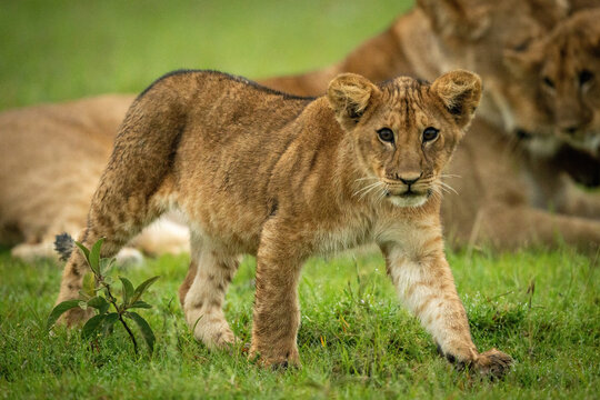 Lion cub crosses grass with family behind